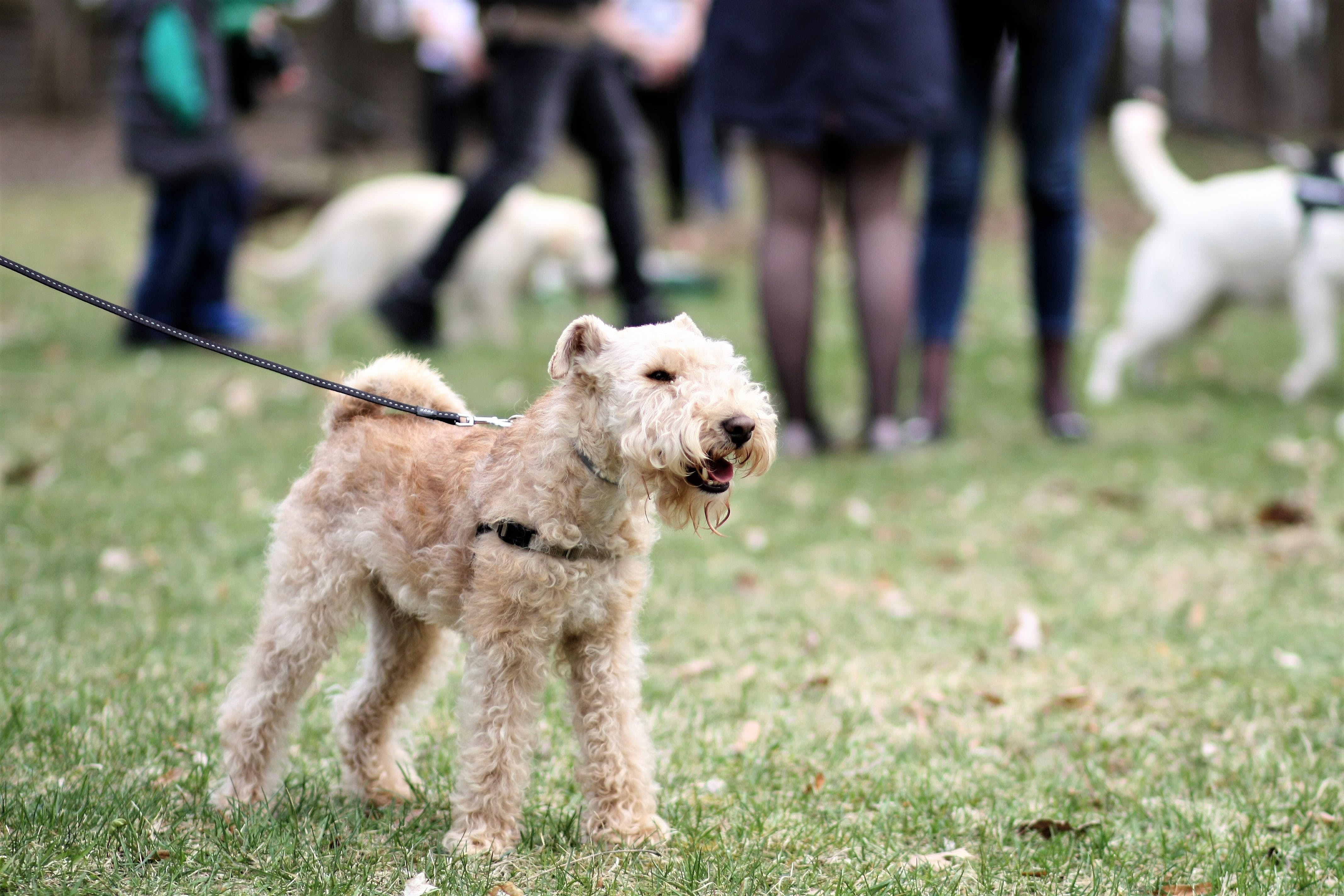 Adult Lakeland Terrier