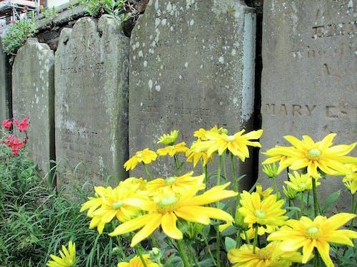 Fotos de stock gratuitas de cambridge, cementerio, Flores amarillas, Inglaterra