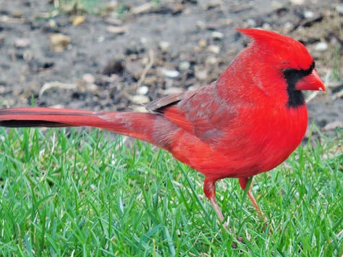Free stock photo of cardinal
