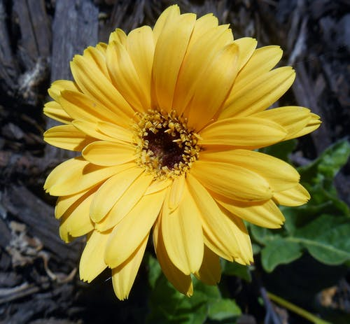 Free stock photo of yellow daisy