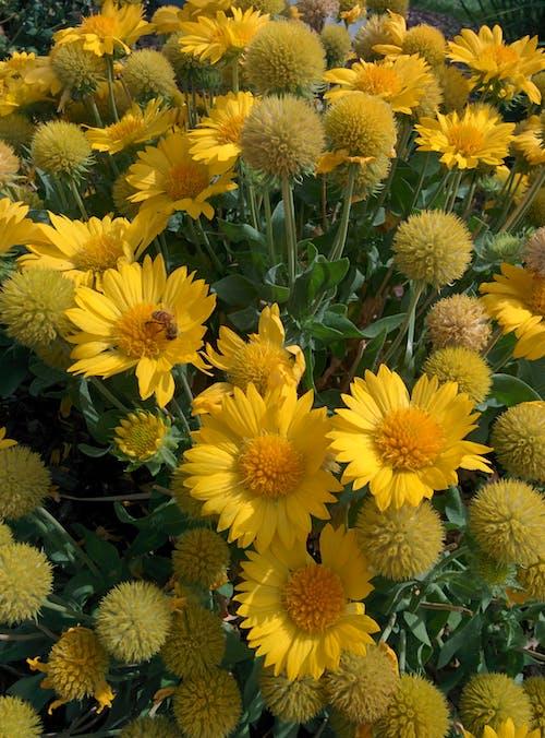 Fotobanka sbezplatnými fotkami na tému žlté chryzantémy