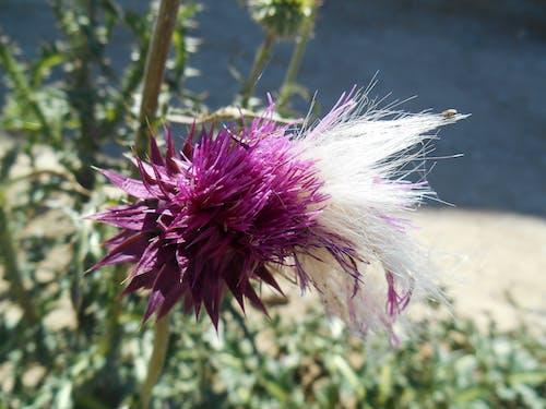 Immagine gratuita di fiore di cardo