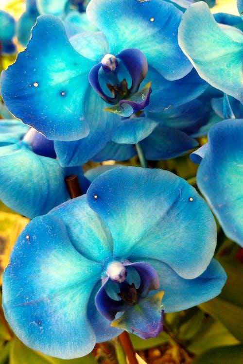 Immagine gratuita di orchidee, orchidee blu