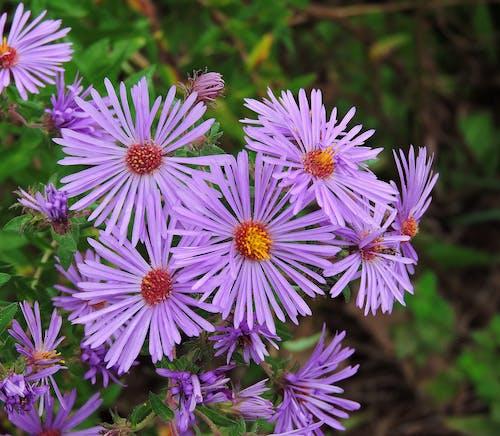 Fotobanka sbezplatnými fotkami na tému divé kvety, fialové astery, purpurové kvety