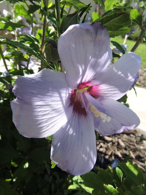 Ingyenes stockfotó közelről virág, levendula rózsa sharon, sharon lila rózsa témában