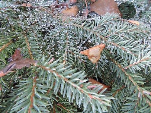 Ingyenes stockfotó dewdrops növényen, fenyő dewdrops, harmatcseppek, pókháló harmat témában