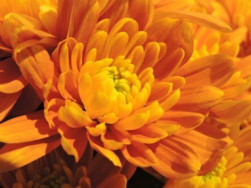 Immagine gratuita di crisantemo, crisantemo arancione, crisantemo d'oro, crisantemo giallo