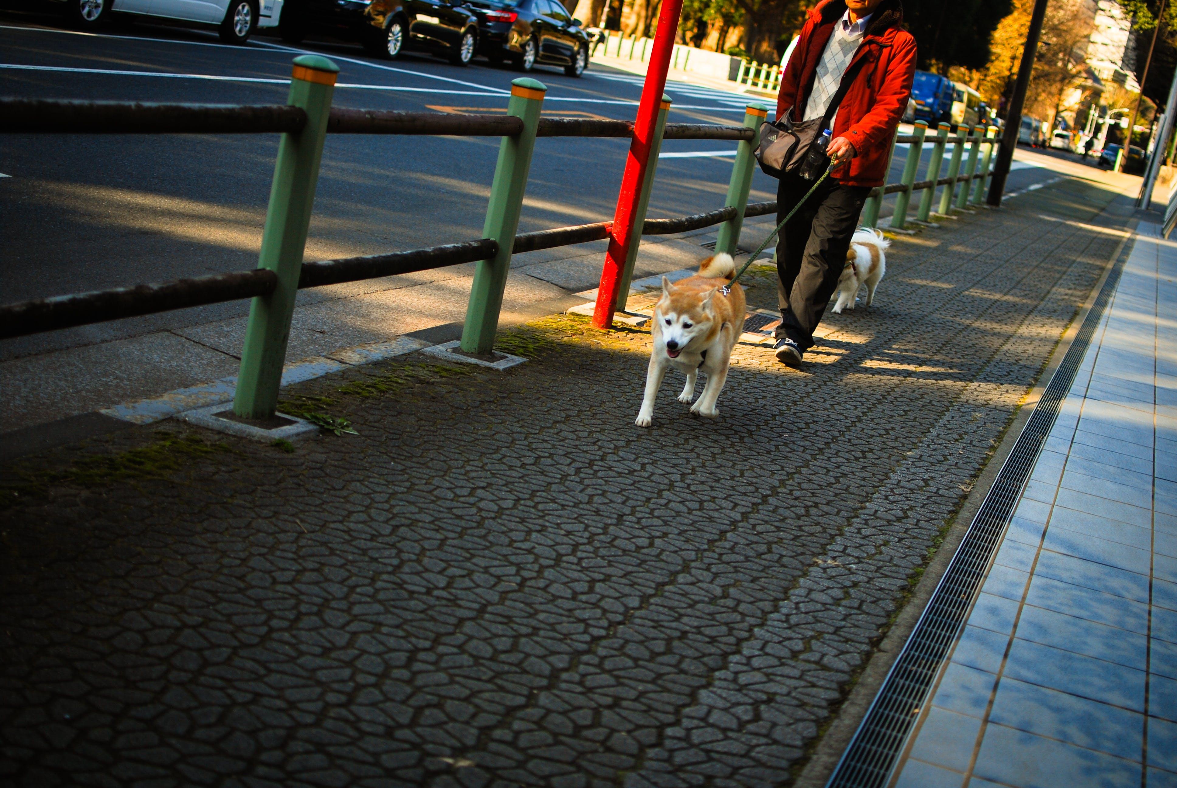 Free stock photo of akita, breed, city, dog