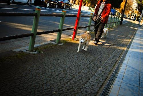 Бесплатное стоковое фото с dogwalk, акита, город, порода