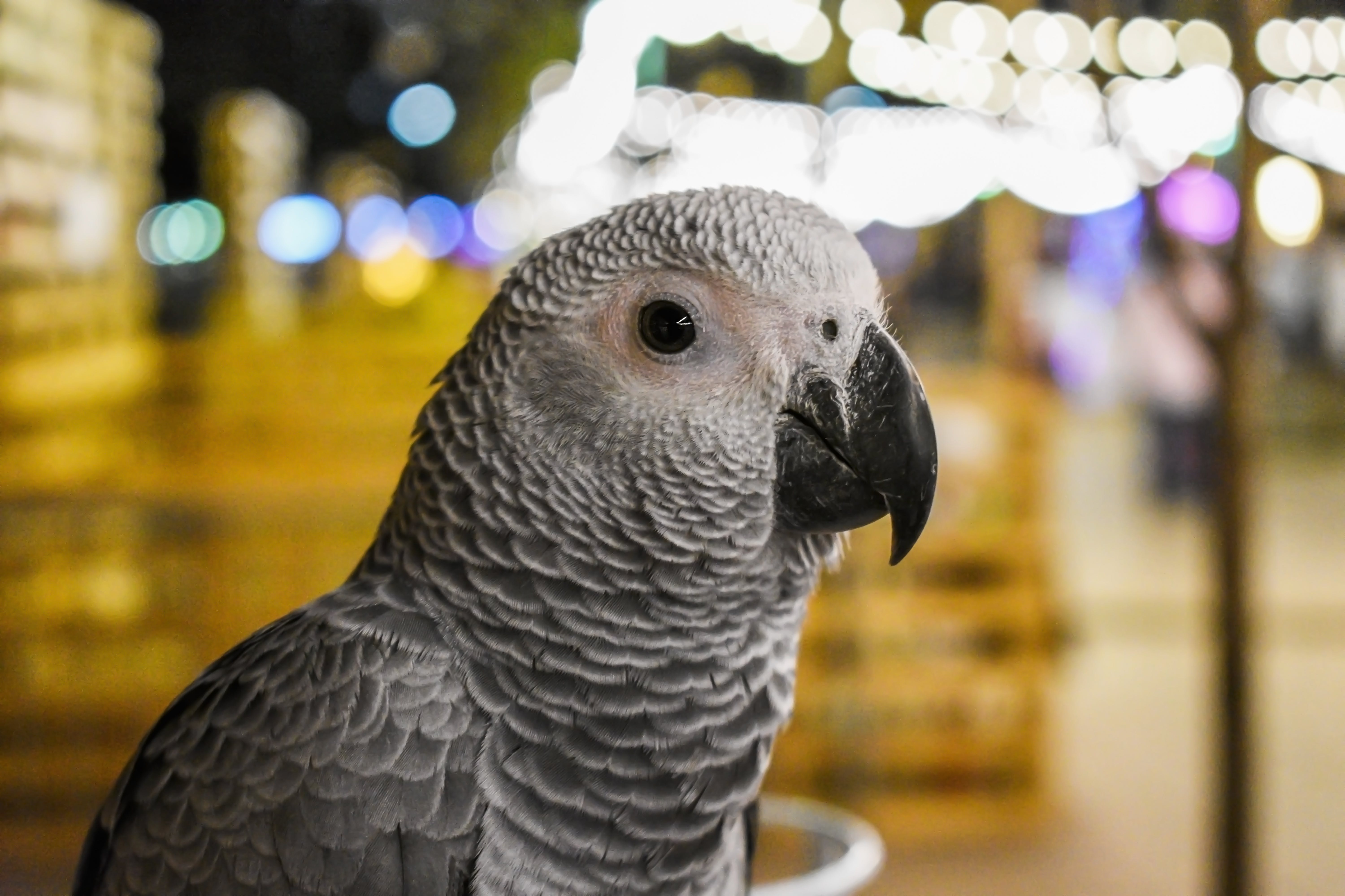 Shallow Focus Photography of Gray Parrot