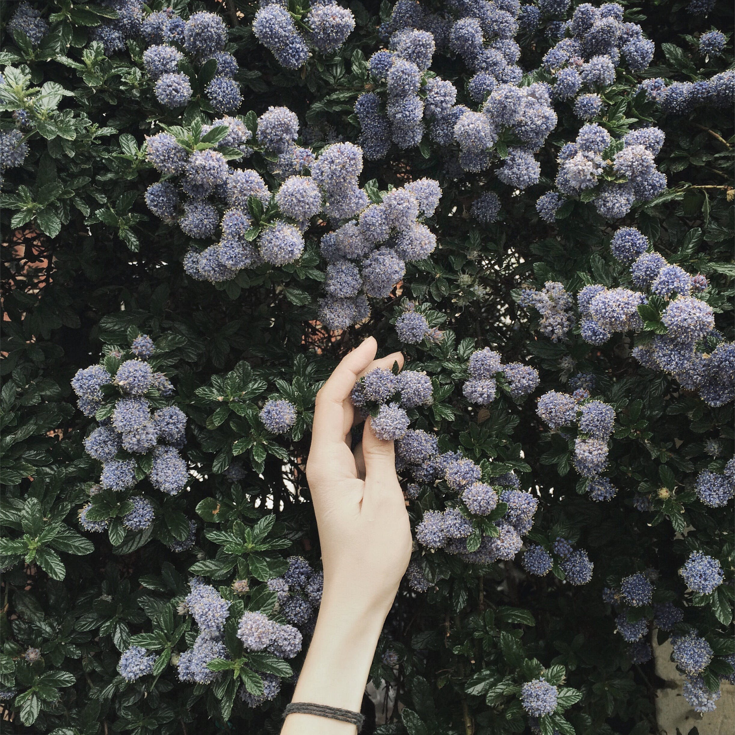 Person Touching Blue Flower