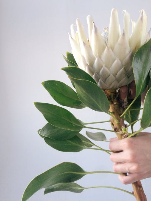 Person's Hand Holding White Petal Flower