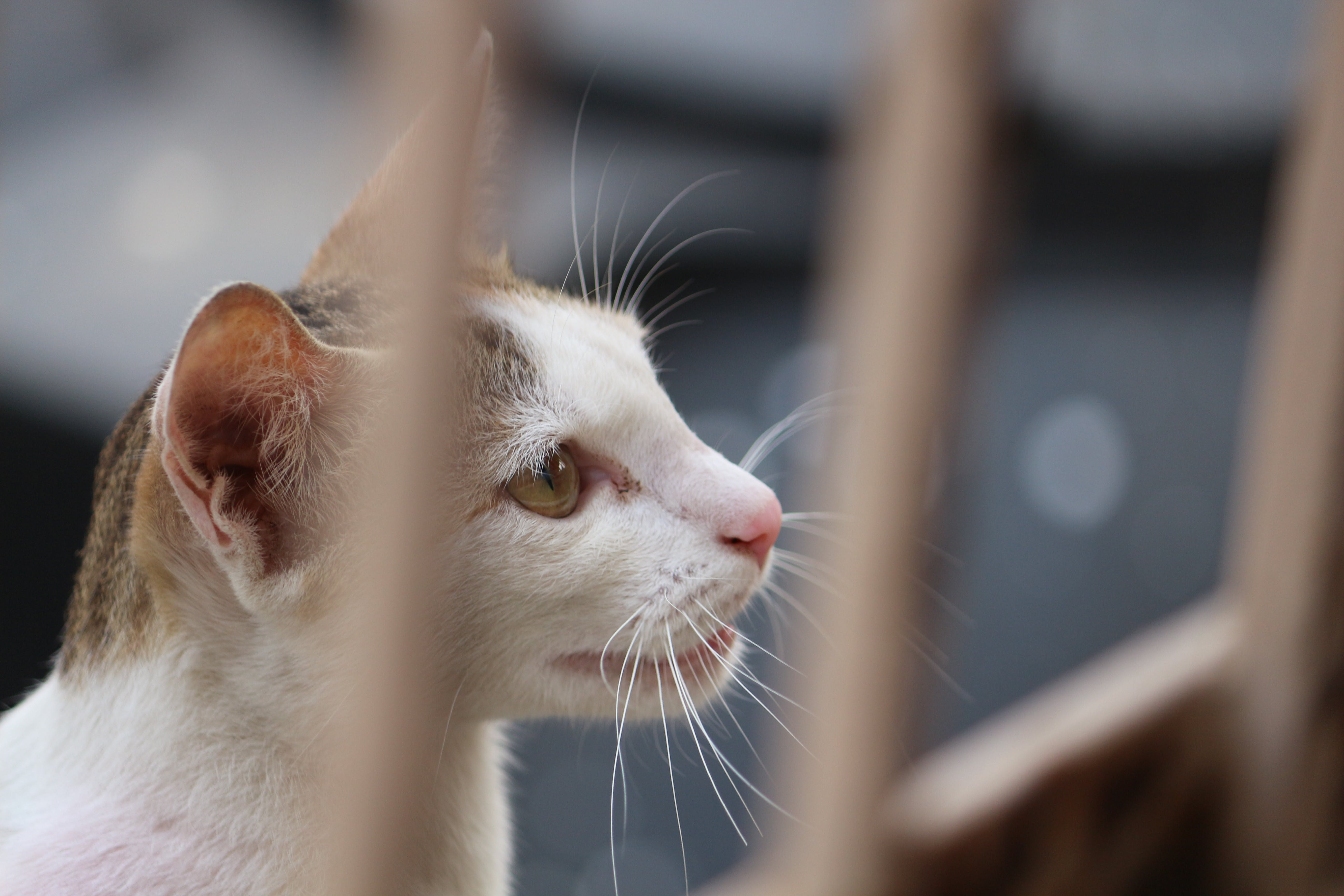 White and Gray Tabby Cat Behind Fence
