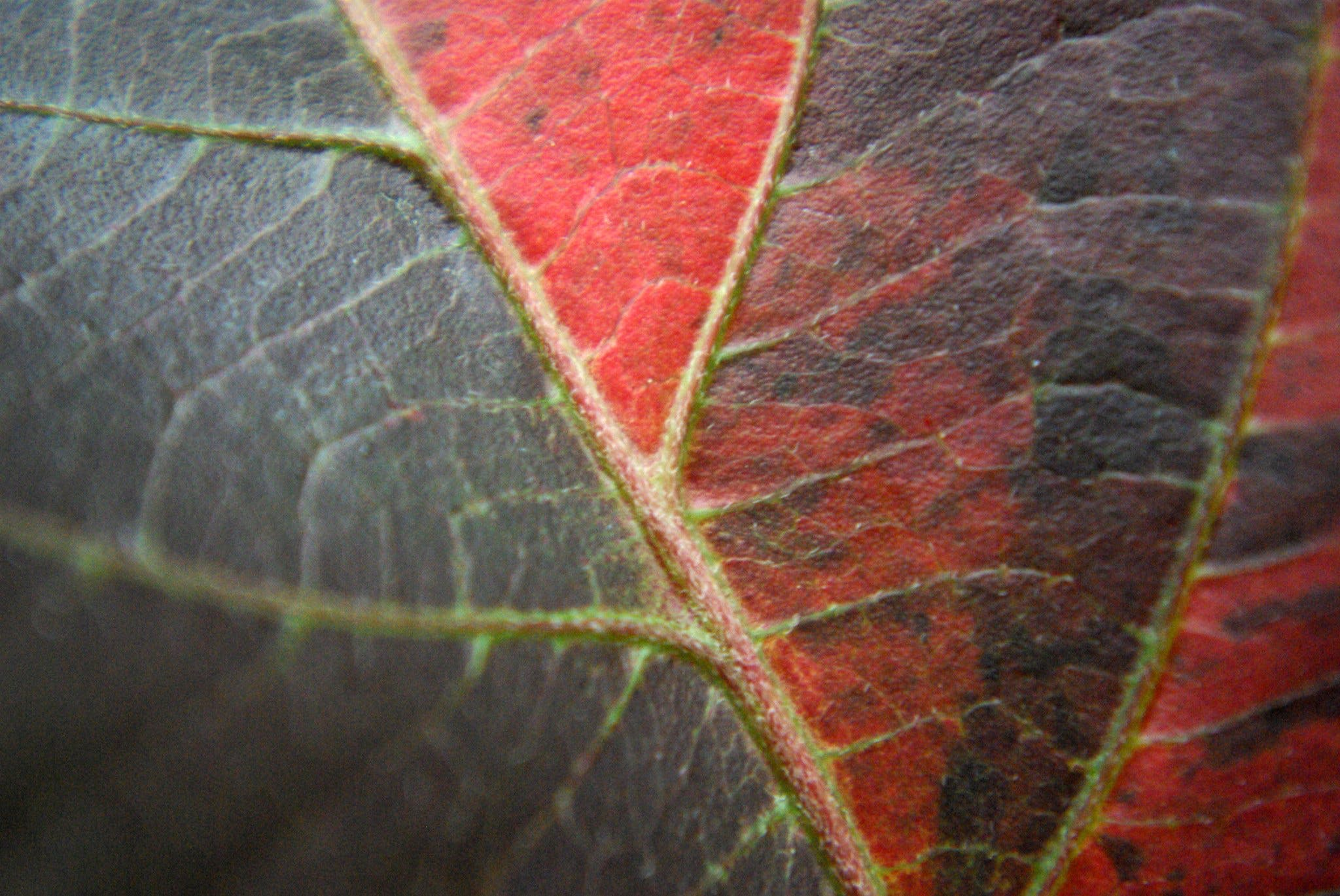 Free stock photo of leaf, nature, plant, red