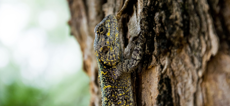 Brown Black Yellow Beige Lizard Climbing on Brown Tree
