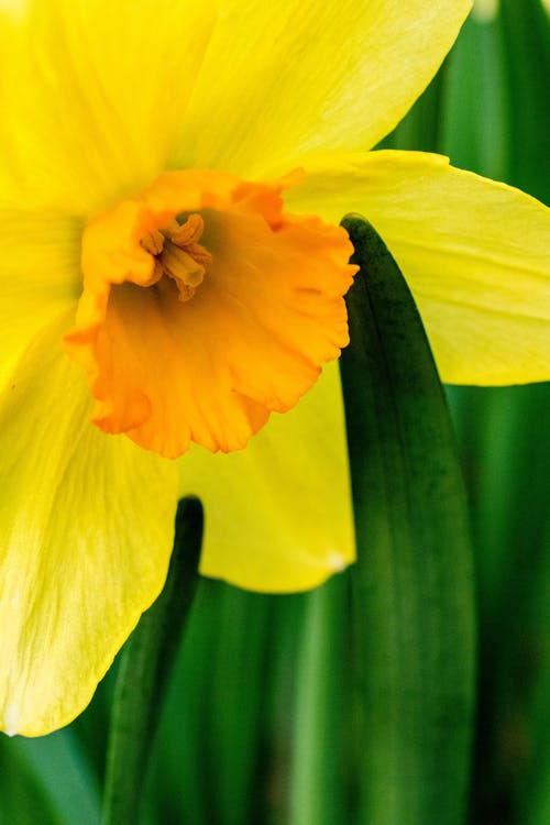 Selective Focus Photography of Yellow Daffodil Flower