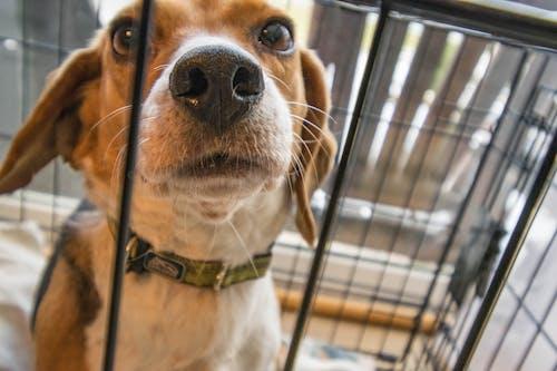 Adult Tricolor Beagle