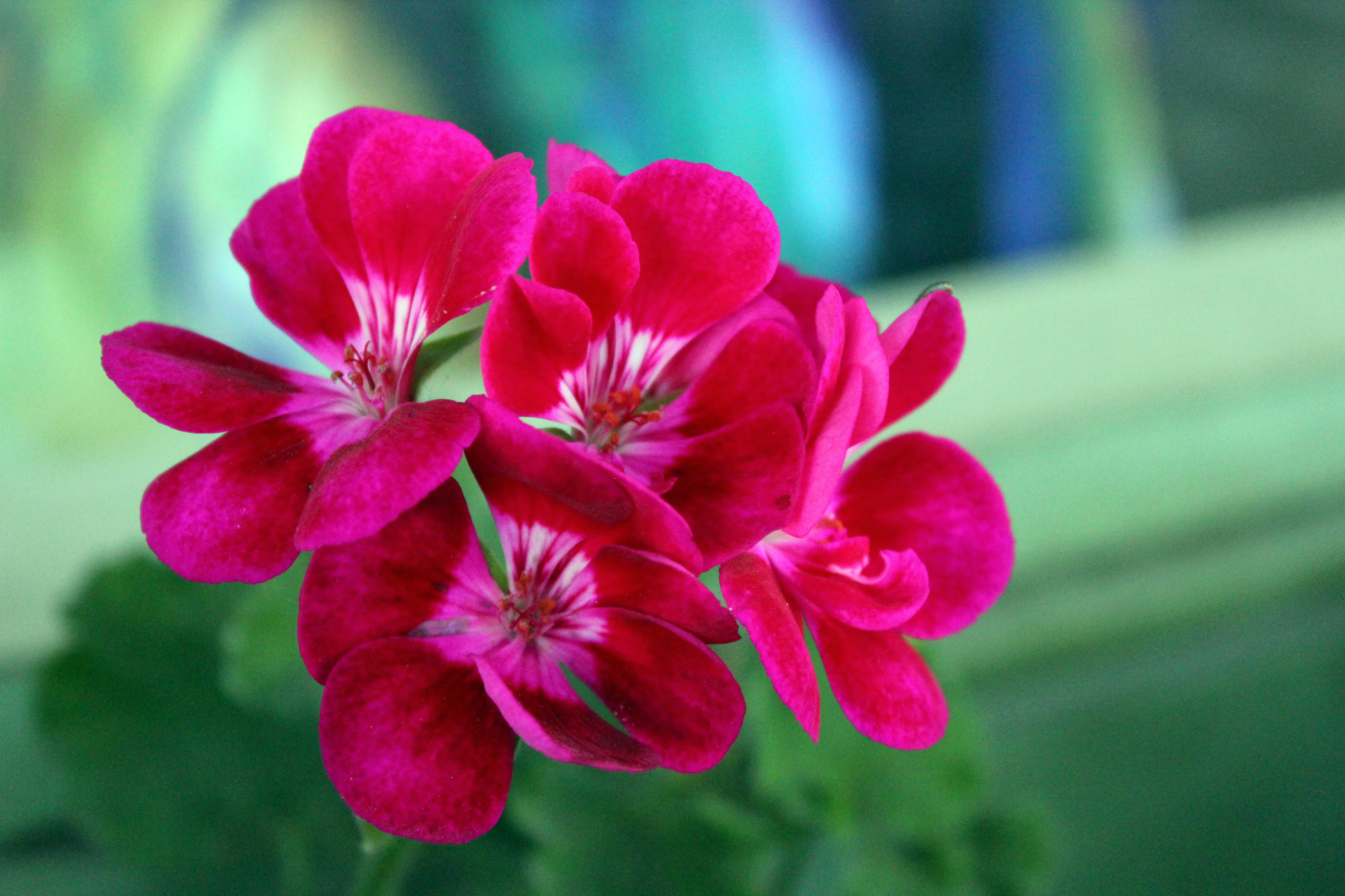Free stock photo of red flowers