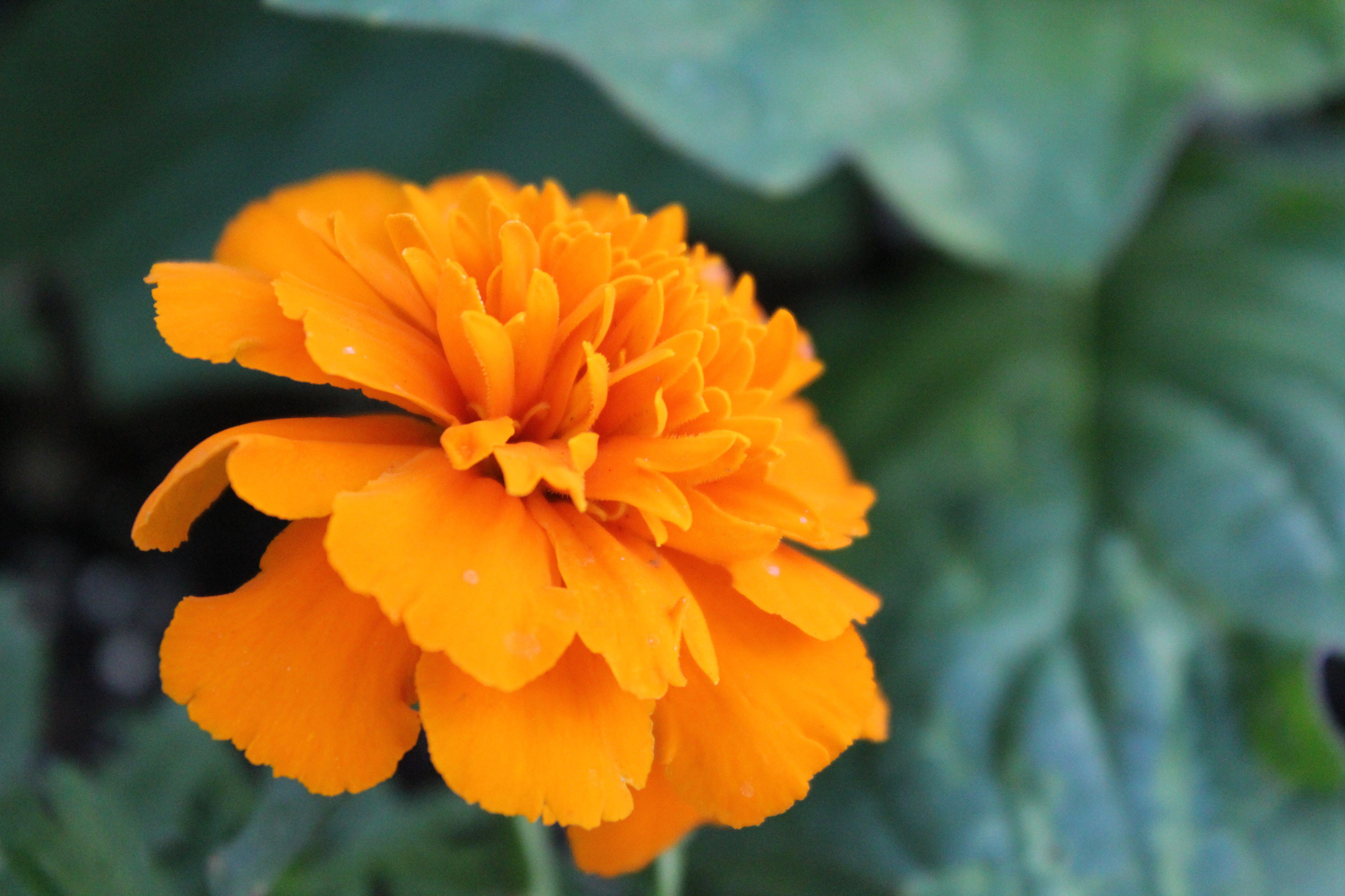 Free stock photo of orange flower