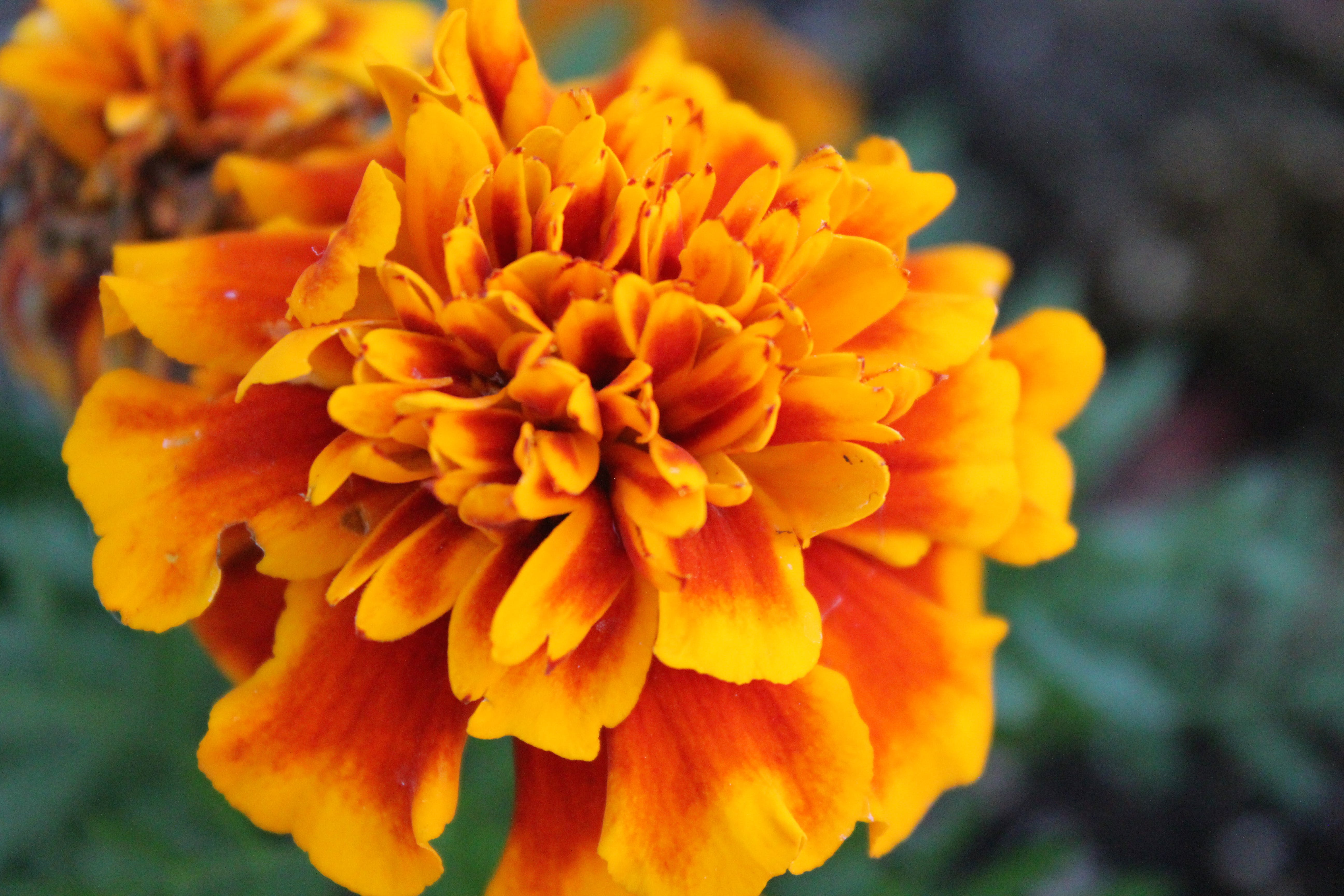 Close-Up Photography of Marigold Flower
