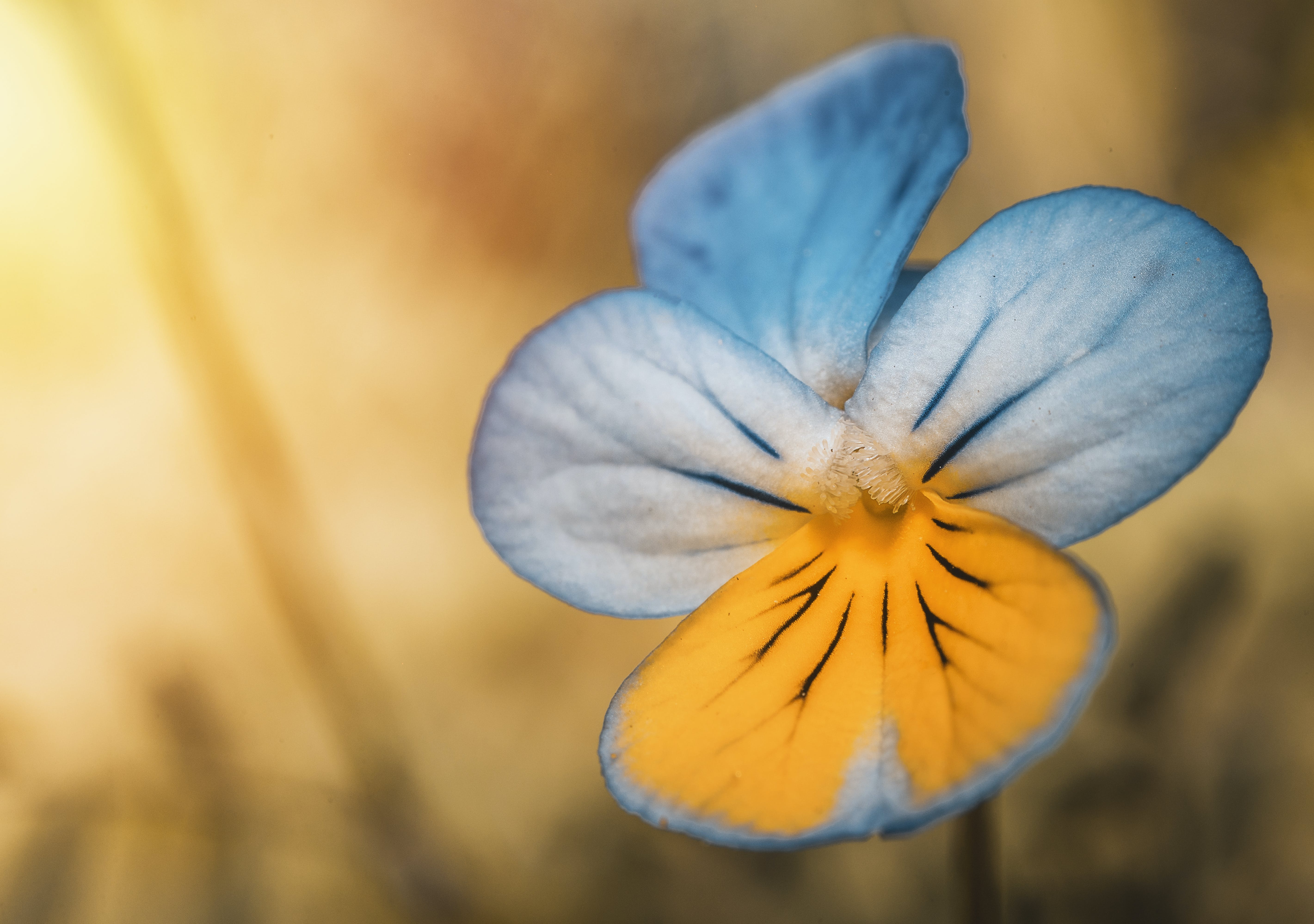 Closeup Photography of Blue and Yellow Pansy Flower
