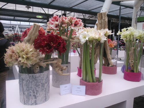 Gratis lagerfoto af hvide og røde blomster i potter