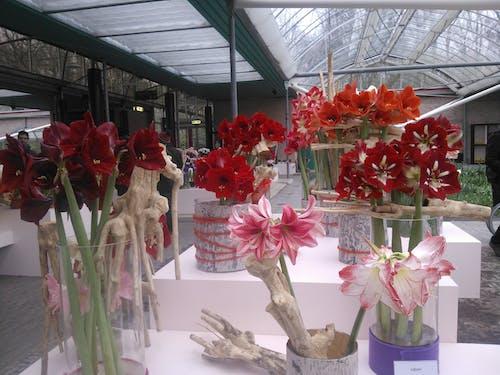 Gratis lagerfoto af røde blomster på gryder