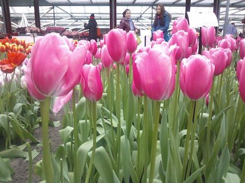 Gratis lagerfoto af pink tulipaner