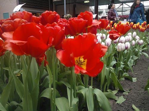 Gratis lagerfoto af røde blomster