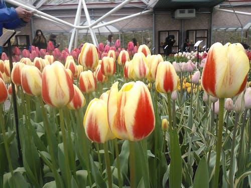 Gratis lagerfoto af røde og gule tulipaner