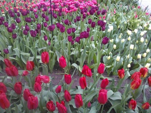 คลังภาพถ่ายฟรี ของ ดอกทิวลิป