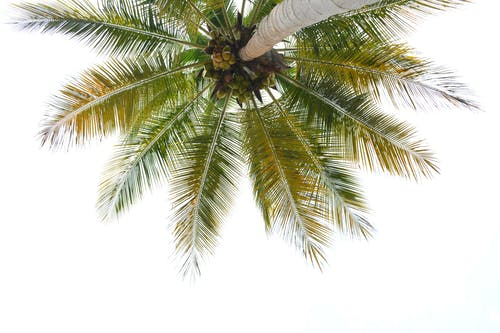 Worm's-eye View of Coconut Tree