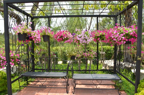 Free stock photo of flower, garden, glory, morning glory