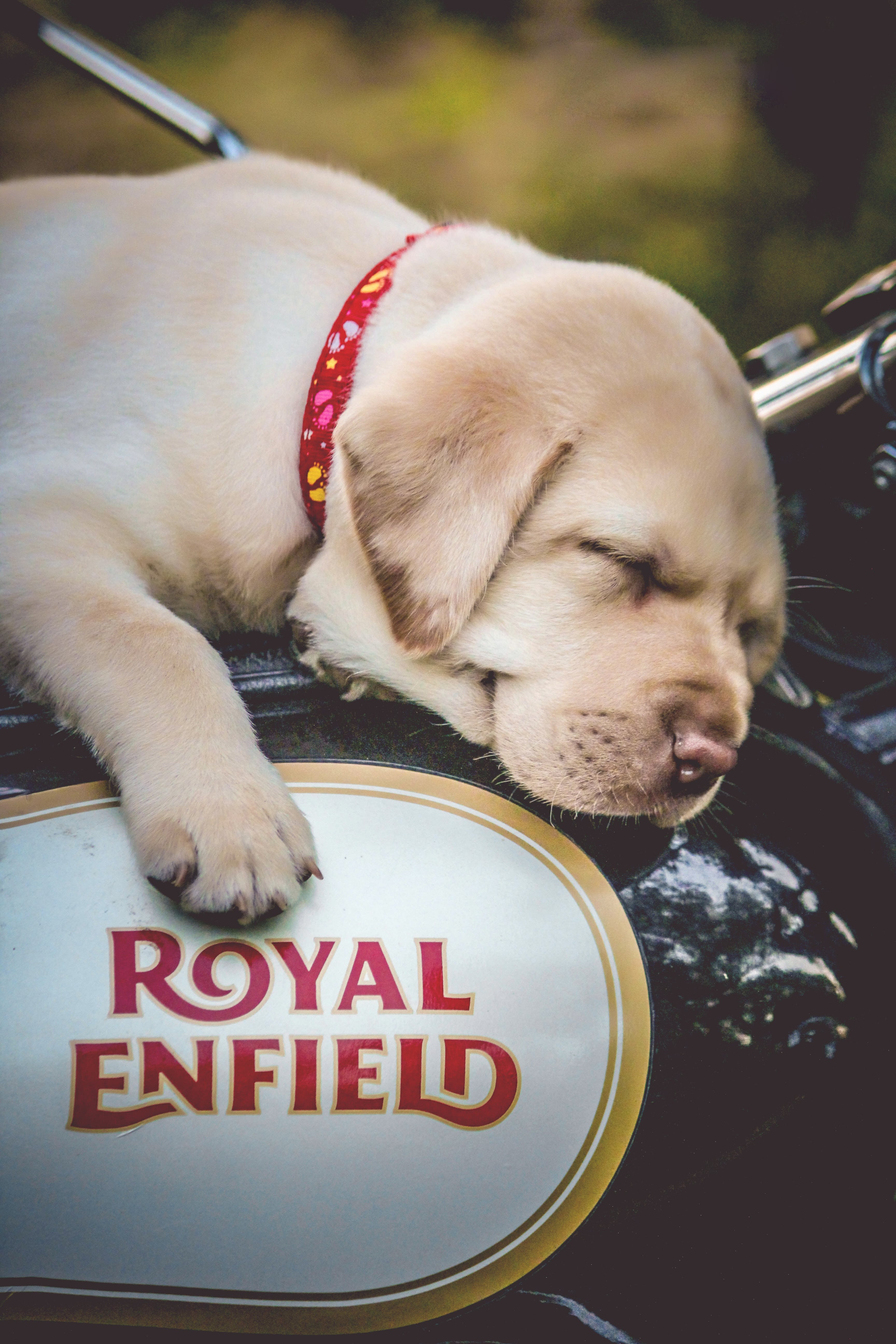 Yellow Labrador Retriever Puppy on Black and White Motorcycle