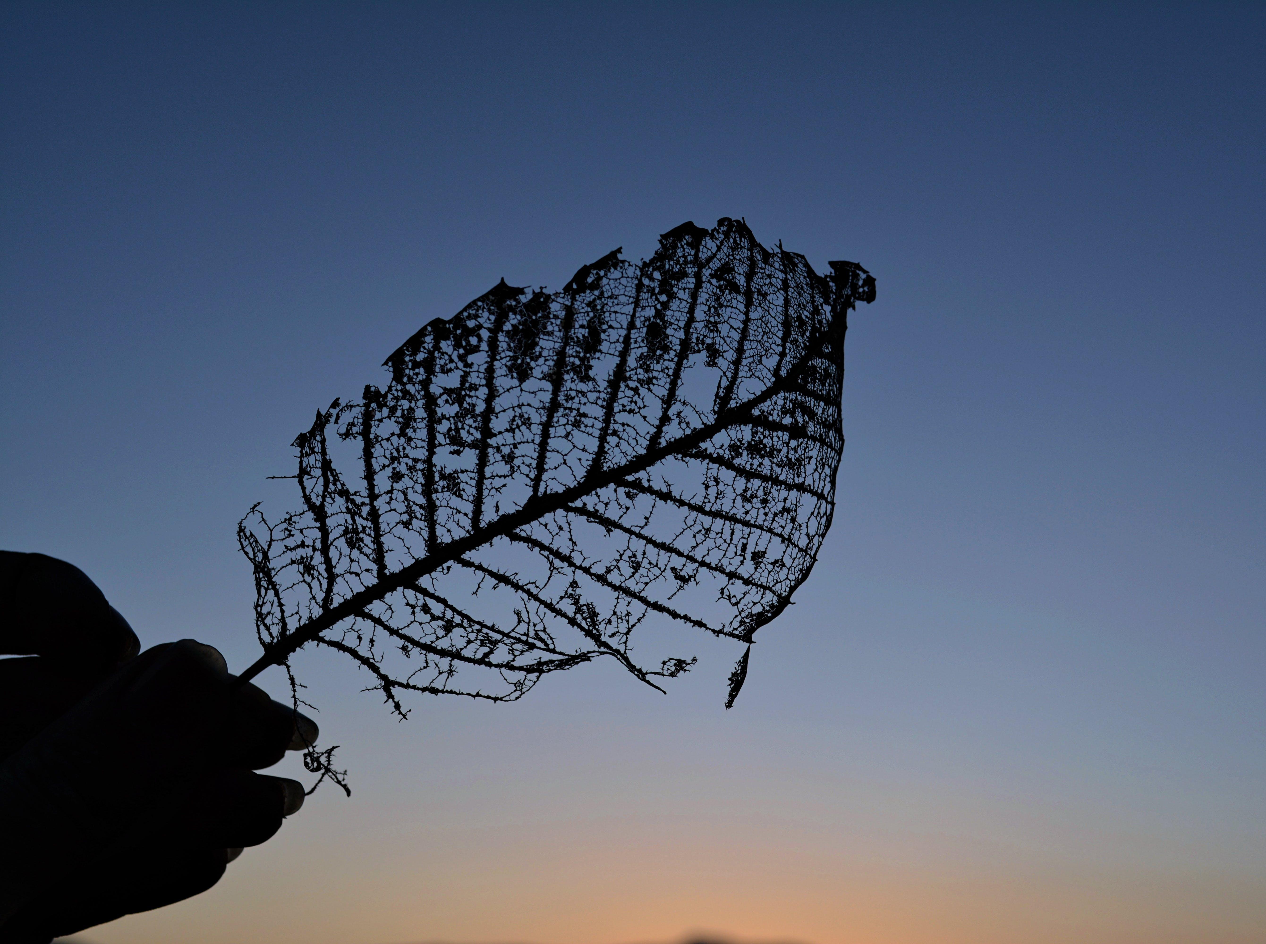 Silhouette of Dry Leaf