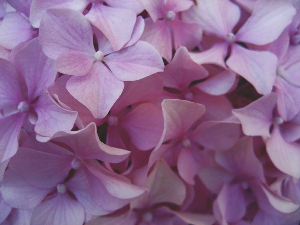 Free stock photo of flower, petals, purple