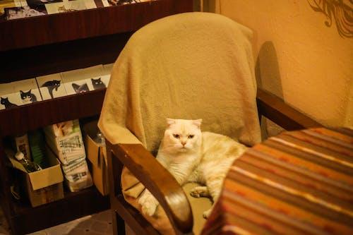 Gratis lagerfoto af doven kat på en stol