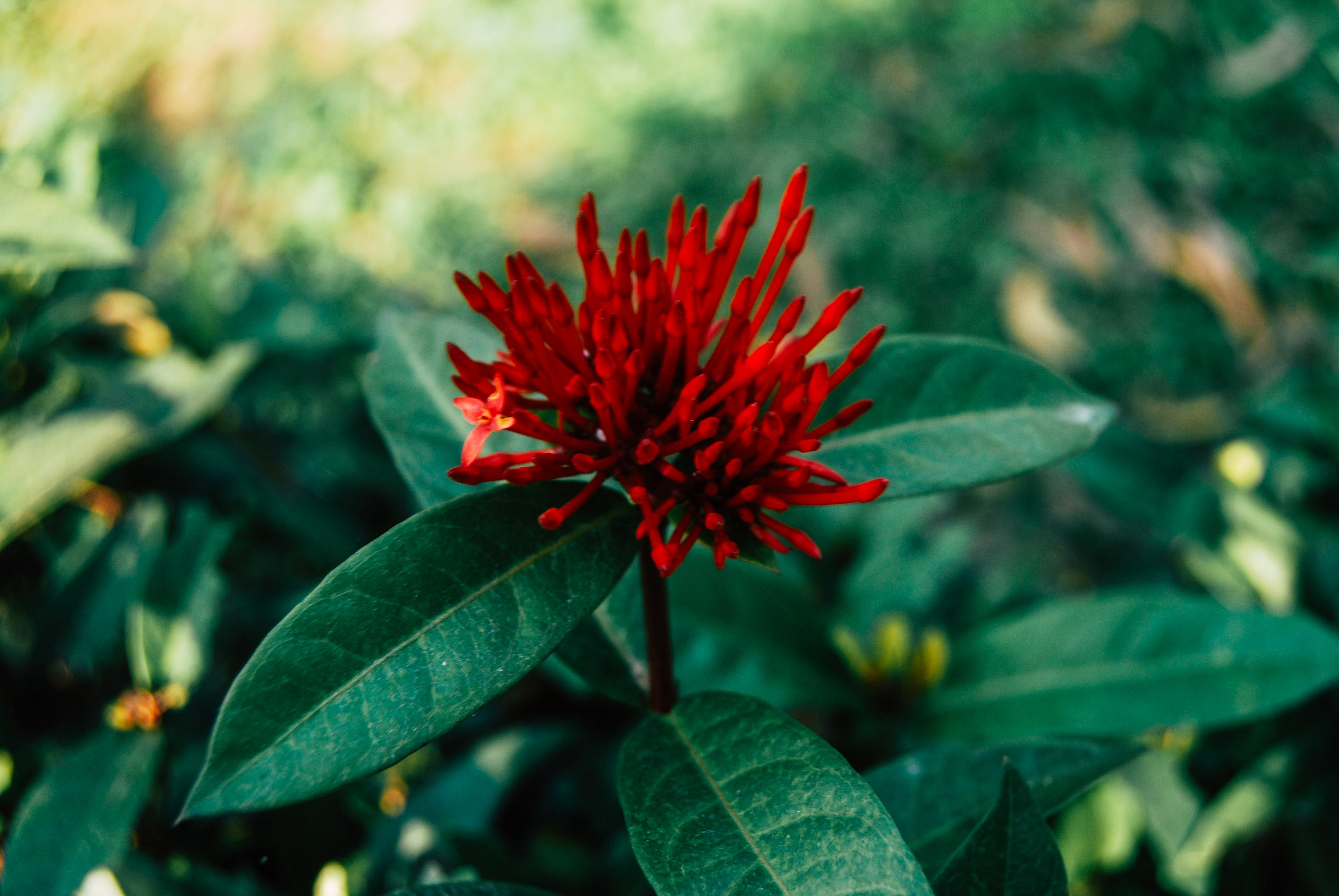 Selective Focus Photography of Red Ixora Flower Buds