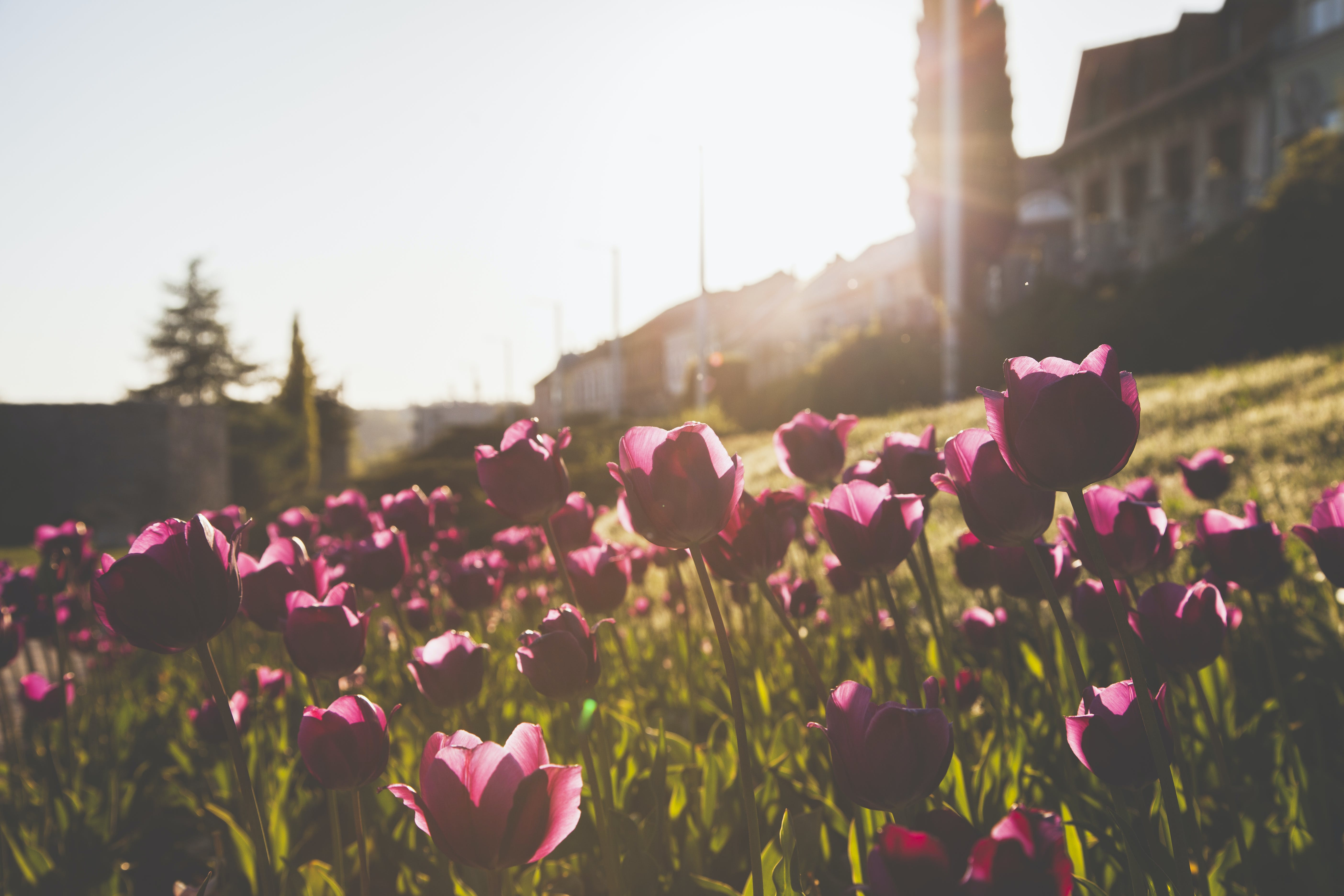 Photography of Tulips