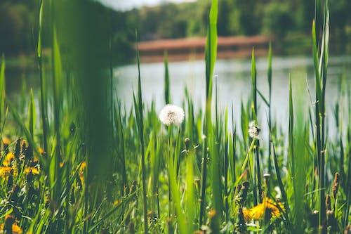 Photography of Dandelion Flower