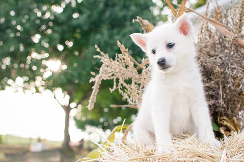 Close-Up Photography of Japanese Spitz Puppy Sitting on Straw