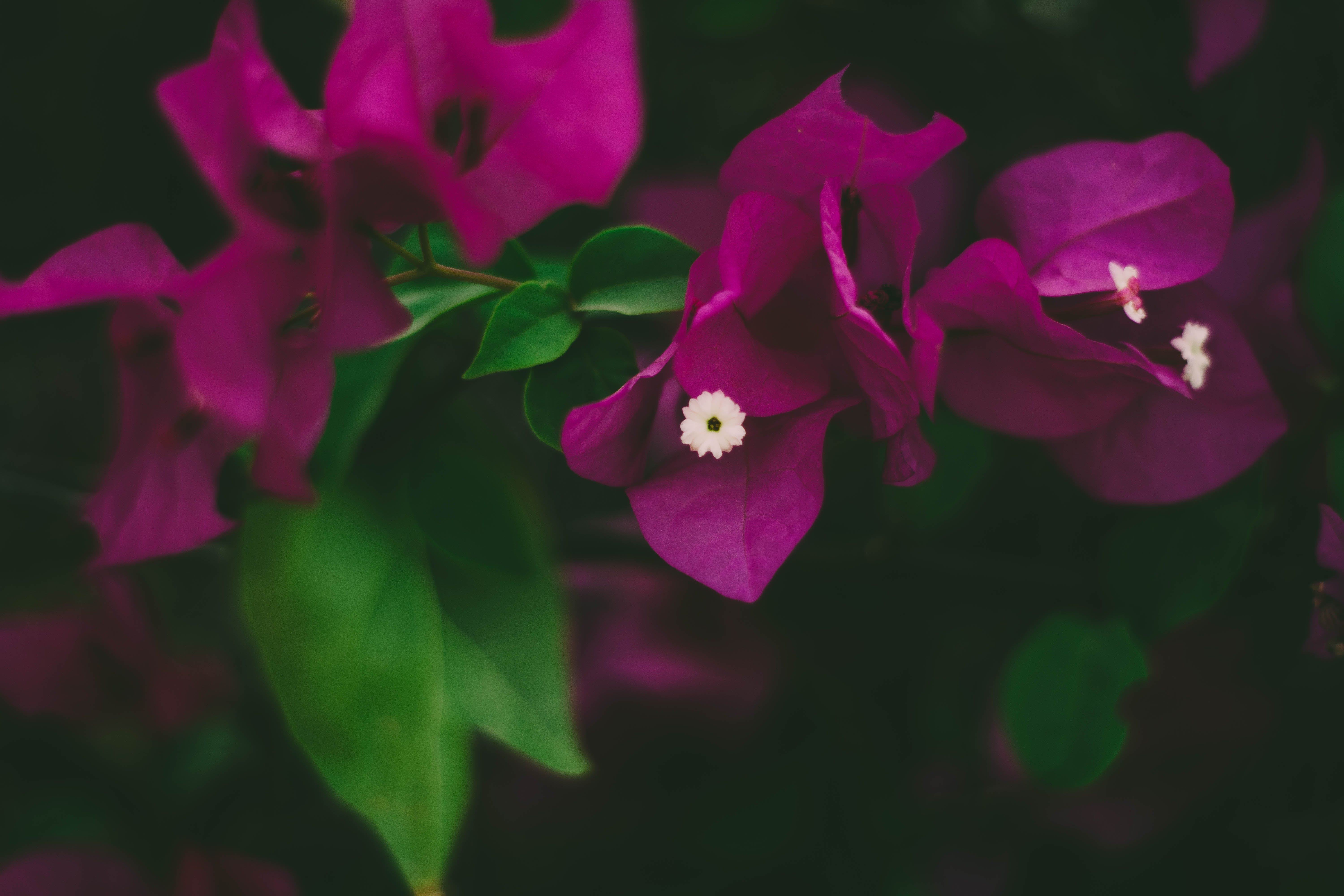 Close-Up Photography of Pink Bougainvillea