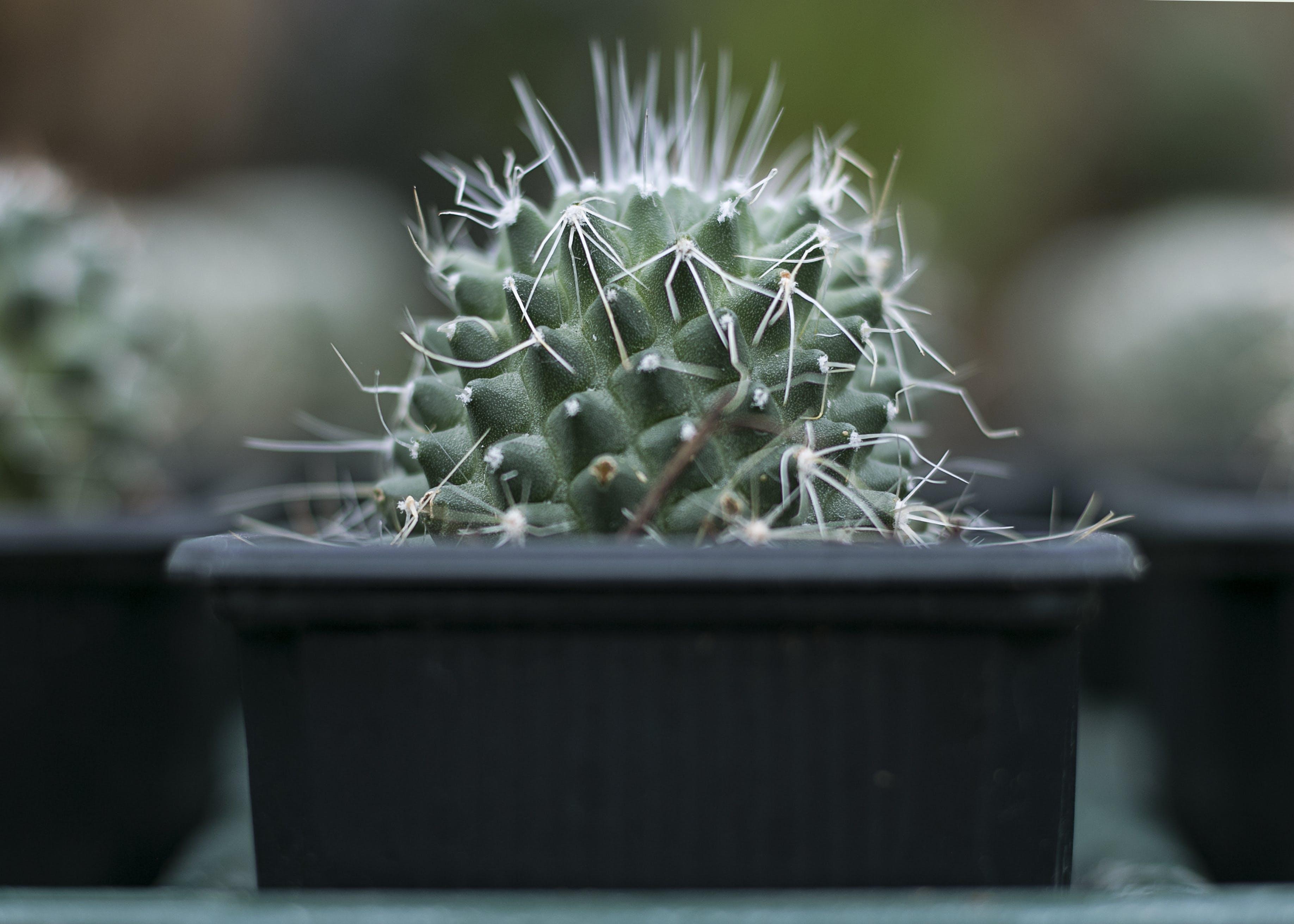 Selective Focus Photograph of Cactus Plant on Black Pot