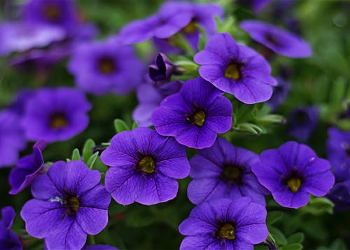 Close-Up Photography of Purple Petunia Flowers