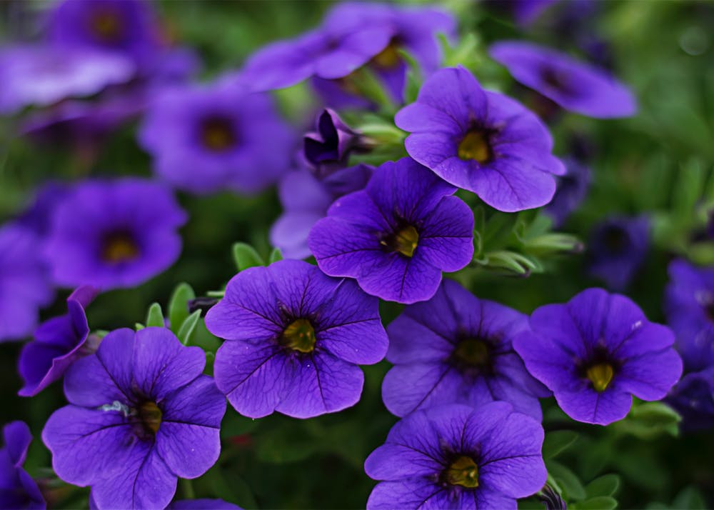Petunia | 63 Amazing Pest And Insect Repellent For Plants You Should Know
