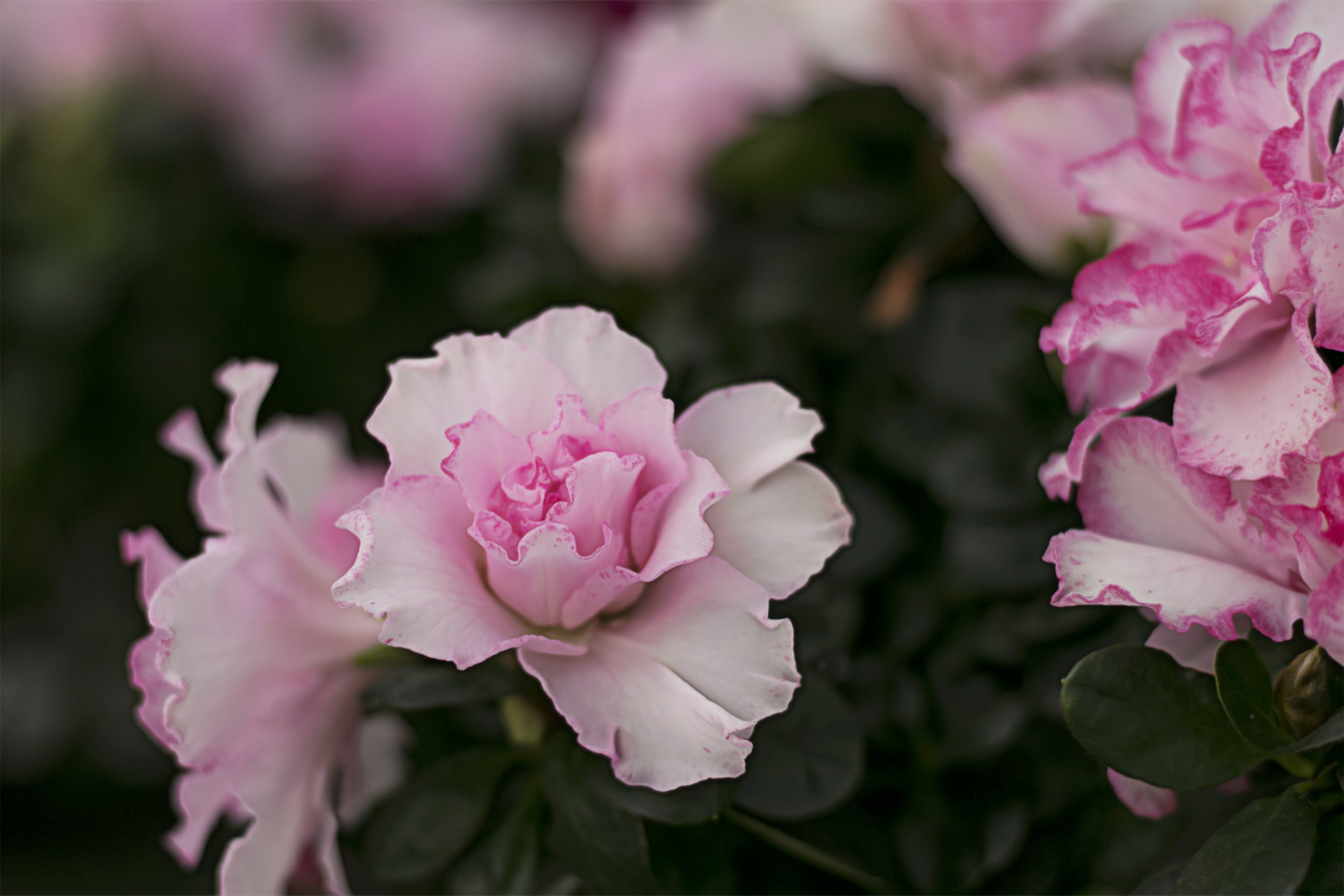 Close-Up Photography of White and  Pink Flower