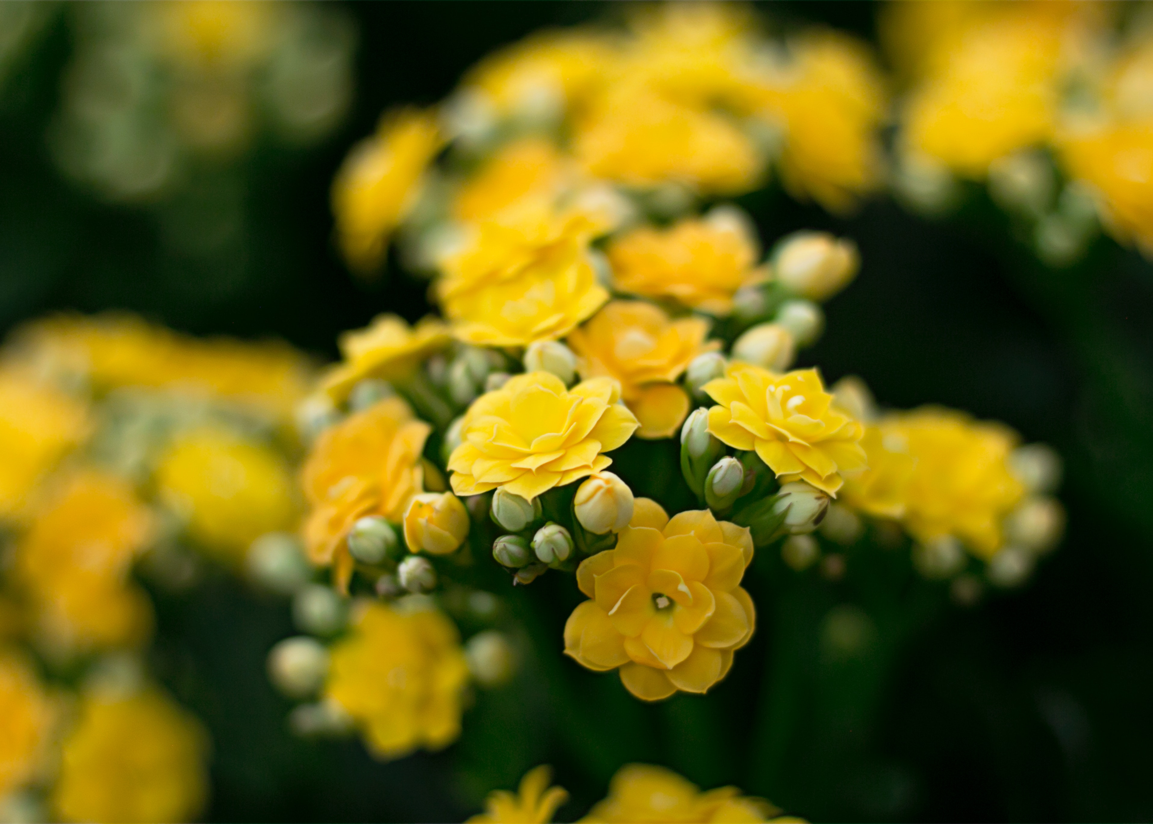 Close Upp Photography Of Yellow Flowers Free Stock Photo