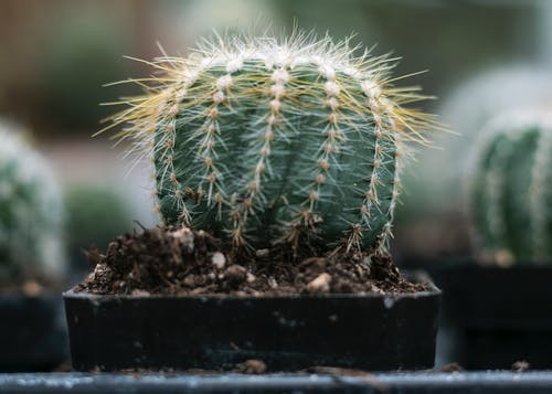 Gratis stockfoto met bloempot, cactus, close-up, concentratie