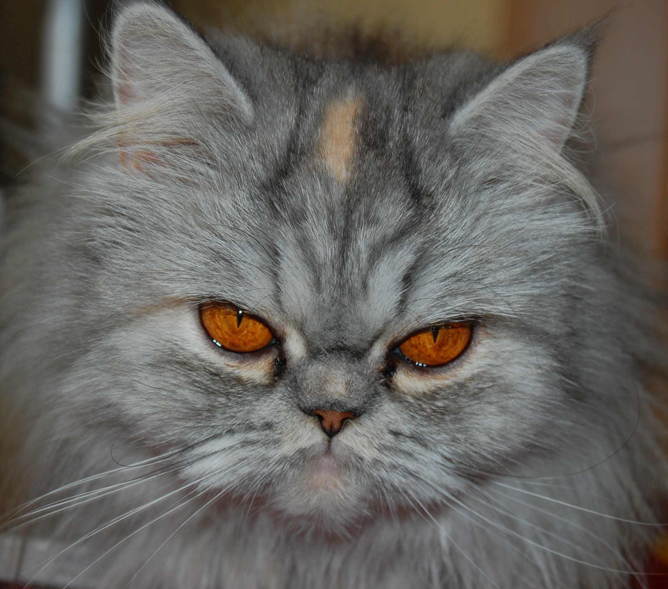 Free stock photo of cats, crying, sadness