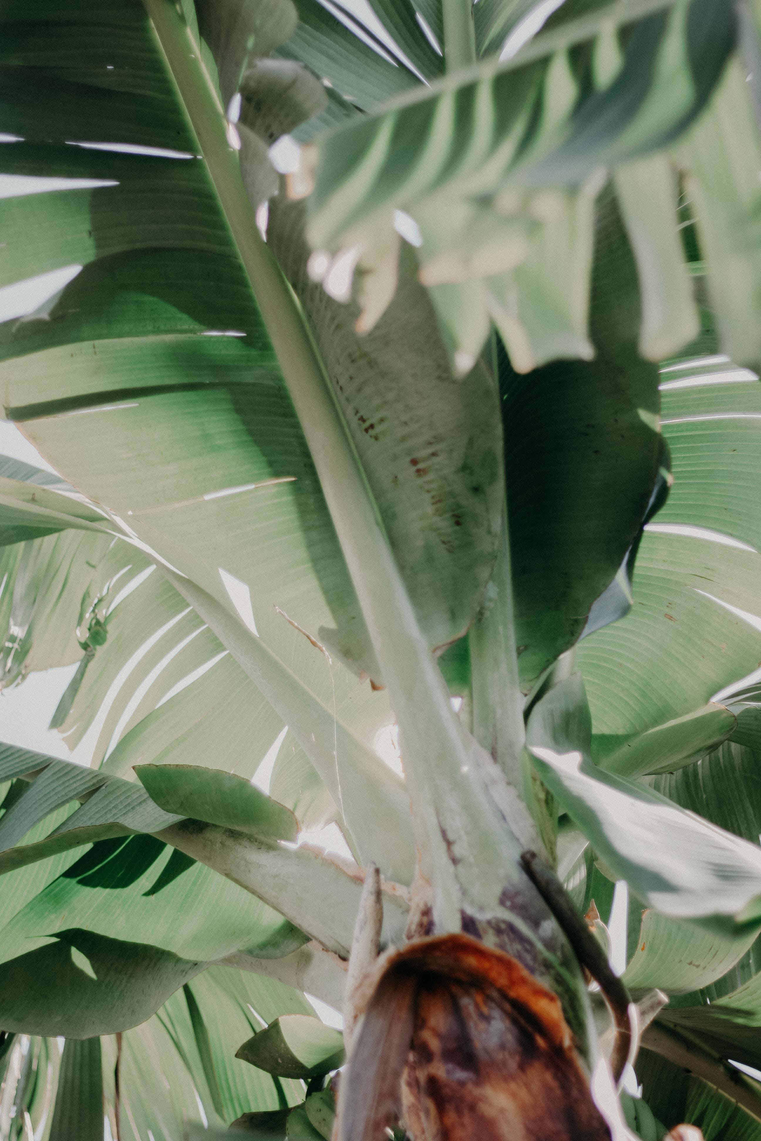 Kostenloses Stock Foto zu banane, bananenbaum, bäume, blätter